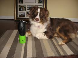 australian shepherd water american dog shopper february 2011