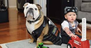 english bulldog halloween costumes 23 dog and kid halloween costumes that will make you squeal huffpost