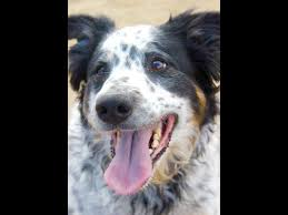 australian shepherd yahoo answers the completist meet the adorable lunch hour dogs of river park
