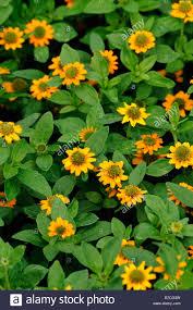 golden orange color sanvitalia procumbens cultivar irish eyes profuse profusion flower