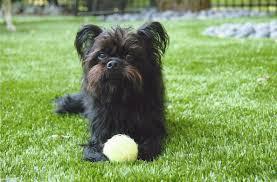 affenpinscher missouri st louis mo artificial pet turf installation for dogs
