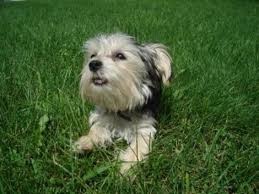 haircut for morkies morkie madness morkie care tips what you need to know before