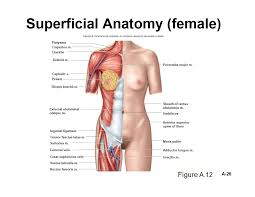 Male External Anatomy Ask Com Human Body Organs Pinterest Human Body Organs