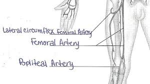 Anatomy And Physiology Labeling Exercise 32 Anatomy Of Blood Vessels Flashcards Easy Notecards