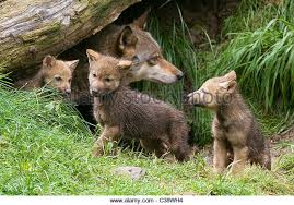 gray wolf cubs outside stock photos gray wolf cubs