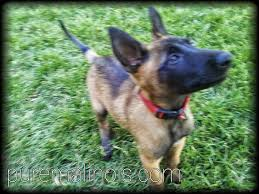 belgian shepherd kennels belgian malinois bite drive prey drive puppy test hd 2014 the