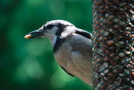 backyard sanctuary wild bird feeding industry