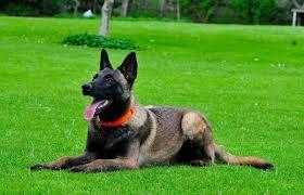 belgian malinois dog basic obedience training belgian malinois for sale 786 206 9330