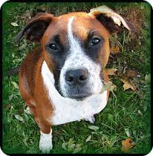 boxer dog for adoption dooney adopted dog indianapolis in boxer australian cattle
