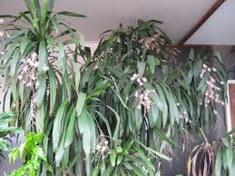 nz trees the trees flowers of whangarei
