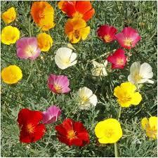 California Poppy Mixed California Poppy Seeds Eschscholzia Californica U2013 Seed Needs
