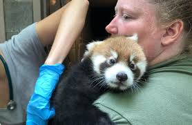 cincinnati zoo u0027s two month old red panda cub gets check up lex18