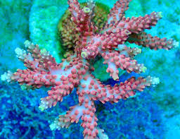dramatic acropora color change sighted at reef raft canada