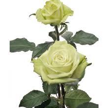 green roses wholesale green tea bulk green