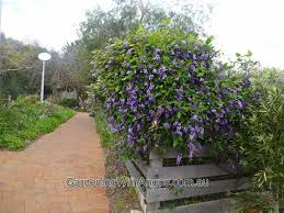 native victorian plants australian native climbers and creepers gardening with angus