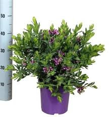 Shrub With Fragrant Purple Flowers - beautiful gift present for all plant lovers large u0027sweet pea