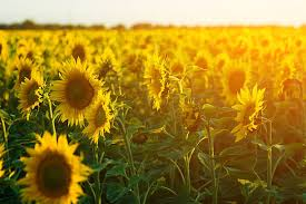 sunflower pictures royalty free sunflower pictures images and stock photos istock
