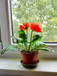 gerbera care indoors u2013 how to grow gerbera daisy plants inside