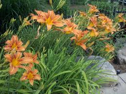 day lilies daylilies a gardener s friend landscape architect