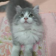 Hair Dryer Khusus Kucing kucing baka siberian american curl pet supplies pet accessories