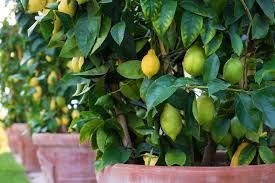 Urban Garden Houston In The Garden With Urban Harvest Fruit Trees Can Grow In