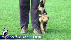 belgian shepherd for sale in pakistan puppy training positive method 3 months old german shepherd