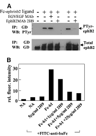 ephb2 as a therapeutic antibody drug target for the treatment of