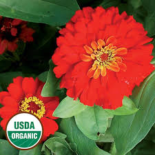 zinnia flower gift zinnia organic flower seed savers exchange
