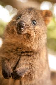 fun facts about cute animals u2013 quokka edition explore awesome