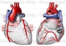 Heart Anatomy Arteries Heart Anatomy Coronary Arteries Medical Illustration Human