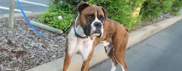 boxer dog las vegas west coast boxer rescue seeking forever homes for homeless boxer