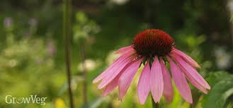 Echinacea Flower Echinacea Benefits The Garden And The Gardener