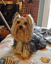 here u0027s my favorite little bit penelope our lovable toy yorkie