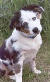 a mini australian shepherd miniature australian shepherd dog breed information and pictures