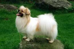 owning an afghan hound afghan hound temperament u0026 personality
