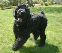affenpinscher vs brussels griffon 9 affenpinscher mix dog breeds cross of affenpinscher breeds