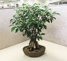 Braided Hibiscus Tree Pictures by Best Real Indoor Trees Simplemost