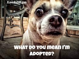 Funny Chihuahua Memes - 20 chihuahua memes that will make you laugh