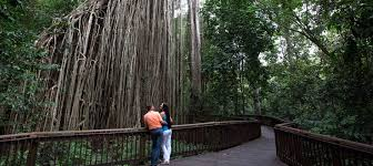 Tree Curtain Curtain Fig Tree Free Things Cairns Experience Oz