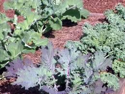 how to grow kale how tos diy