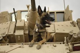 belgian shepherd 101 bomb sniffing and skydiving dogs our military working dogs msah