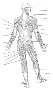 Human Quiz Muscles Of The Body Quiz Body Regions Cavities Body Regions