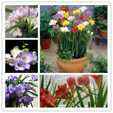 high quality freesia garden buy cheap freesia garden lots from