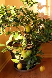 growing meyer lemons indoors