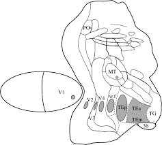 Cortical Visual Areas Monkeys Location Topography