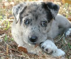 australian shepherd los angeles rescue new here vet told me my rescue pup is a blue merle australian