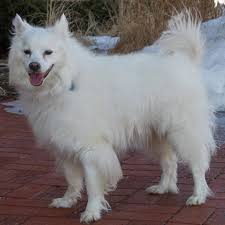 american eskimo dog for sale in colorado spring means time for to get your dog tested for heartworm
