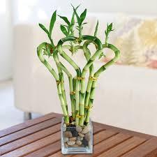 all my bamboo lucky bamboo house plants emilysplants