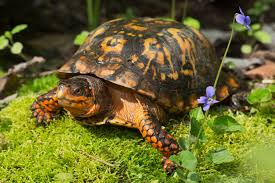 an overview of a box turtle u0027s diet