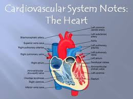 cardiovascular system notes the heart powerpoint presentation by